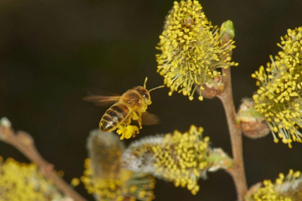 Salweide für Bienen