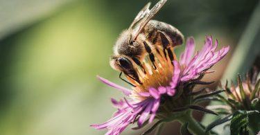 Honigbiene auf Blume