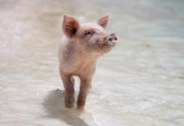 Klimawandel Schwein